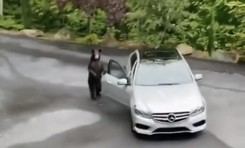 Bear tries to get into Mercedes