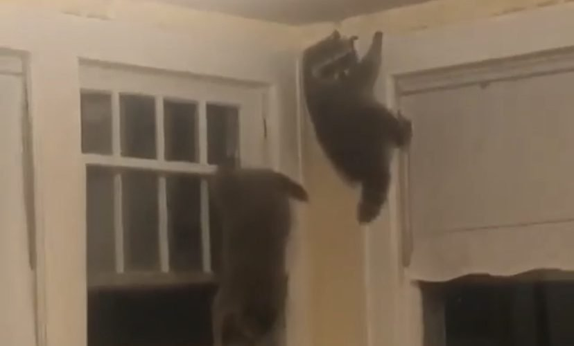 Raccoons get caught inside house