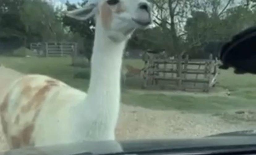 Llama spits on woman