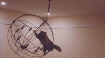 Raccoon swings from a chandelier