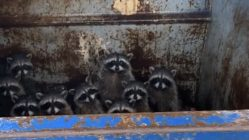 Group of raccoons caught in the dumpster
