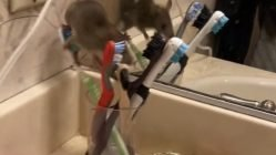Mouse caught in bathroom