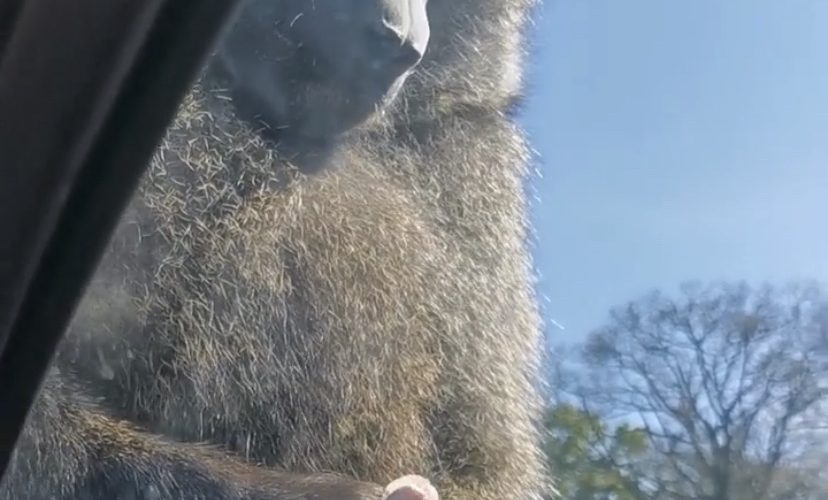 A monkey has some fun while sitting on a car